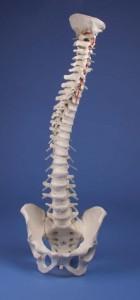 modello colonna vertebrale