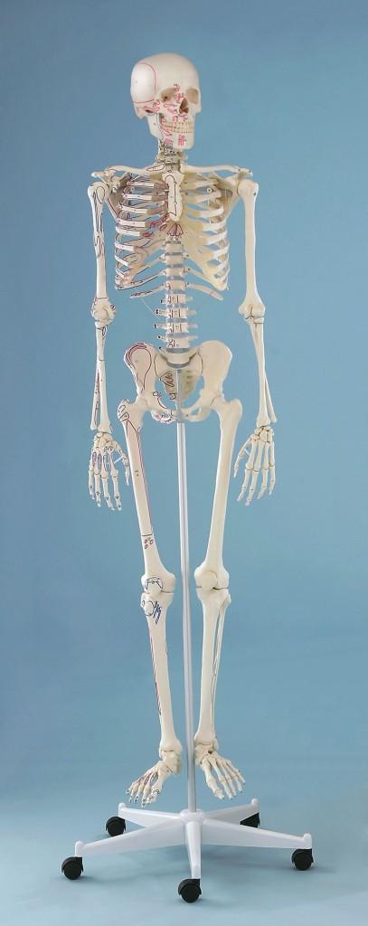 Scheletro con Muscoli Arnold, di Erler Zimmer