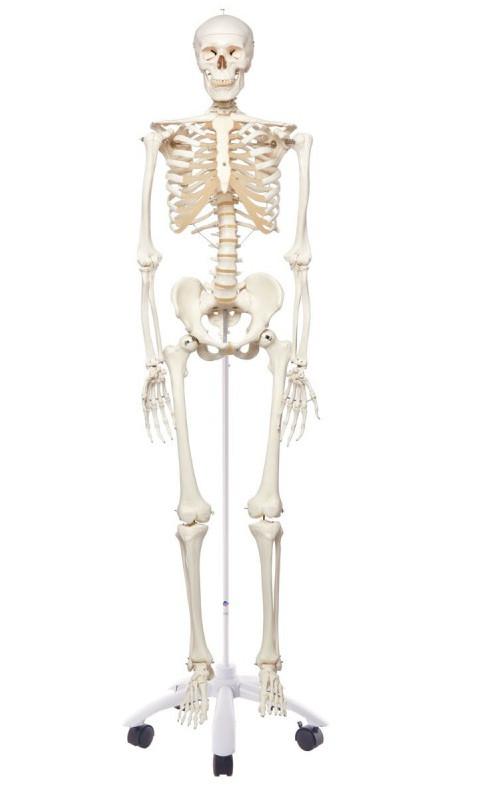 Scheletro anatomico classico 3B Scientific Stan