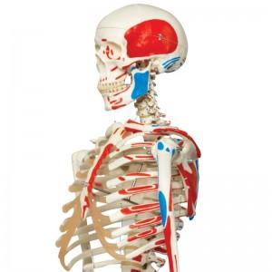 Dettaglio di scheletro con muscoli 3B Scientific MAX