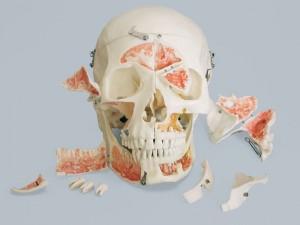 teschio anatomia