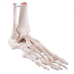 Modello anatomico piede 3b scientific A31/1