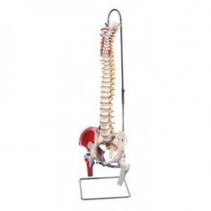 Colonna Vertebrale con bacino e tronchi dei femori ed illustrazione dei muscoli 3B Scientific A58/3