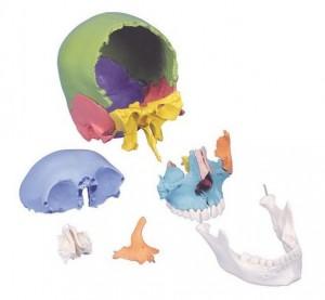 cranio didattico scomponibile in 22 parti 3b scientific