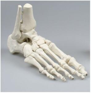 Modello anatomico piede Erler Zimmer 6053