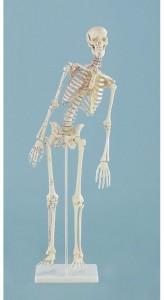 modelli anatomici scheletro, con colonna flessibile e inserzioni dei muscoli
