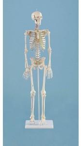 Modello di scheletro con muscoli in miniatura Daniel