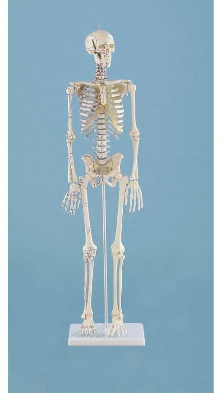Erler zimmer modello anatomico in scala ridotta di - Modelli di scale ...