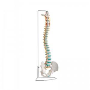 erler-zimmer-modello-di-colonna-vertebrale-flessibile-classica-con-bacino-a250
