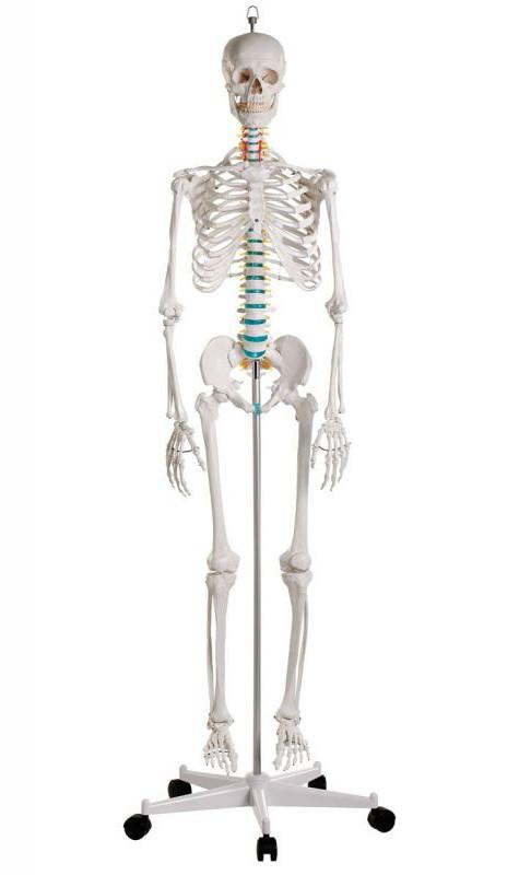Scheletro Anatomico classico Erlzer Zimmer Oscar