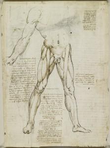 Tavole anatomiche, studio dell'anatomia dei muscoli del tronco e della gamba