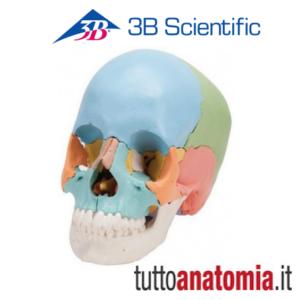 cranio didattico scomponibile in 22 parti