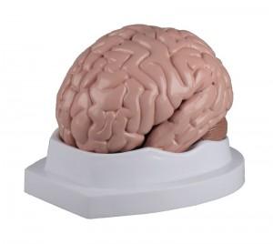 modello anatomico di cervello umano