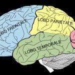 Modelli anatomici di cervello umano